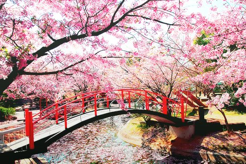 Cherry-Blossoms-Sakura-in-Japan2